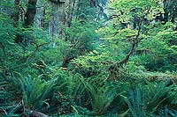 Ferns and Leaves, Hoh River Valley - Olympic National Park, Washington (9905 bytes) www.jeffkrewson.com