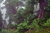 Fir Trees In Fog, Minotaur Lake - North Cascade Mountains, Washington (12517 bytes) www.jeffkrewson.com