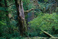 Scarred Giant, Hoh Rain Forest - Olympic National Park, Washington (12652 bytes) www.jeffkrewson.com